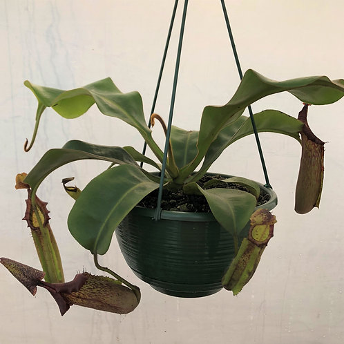 Nepenthes 'Allardii' $45