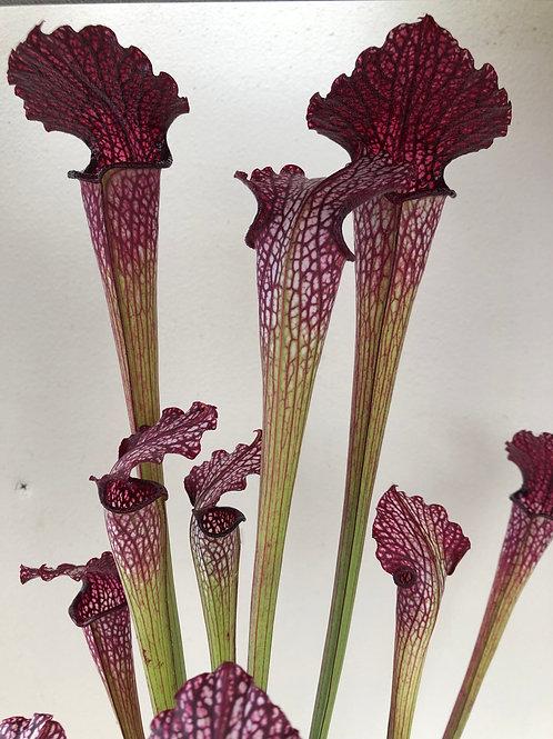 Sarracenia leucophylla f. red vein x rubra ssp. rubra $16