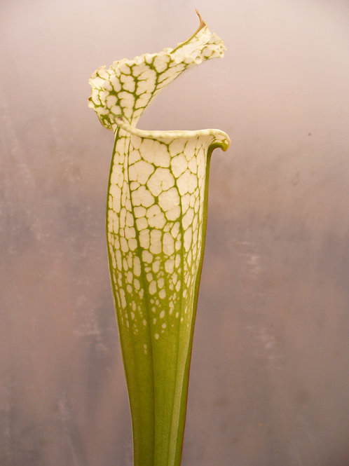 Sarracenia leucophylla f. green veins $20