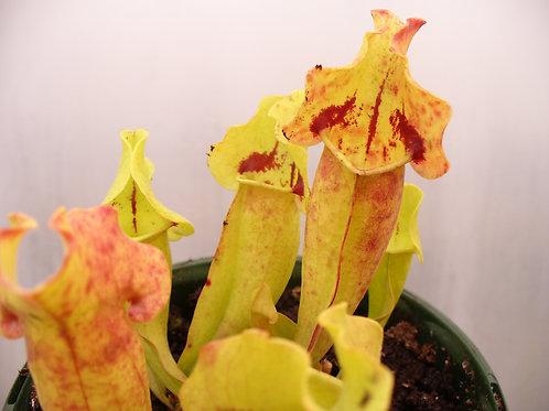 Sarracenia purpurea 'Tina' from Gent $20