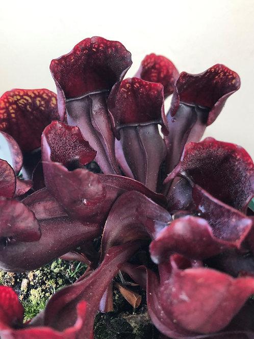 Sarracenia purpurea ssp. venosa x x courtii $16
