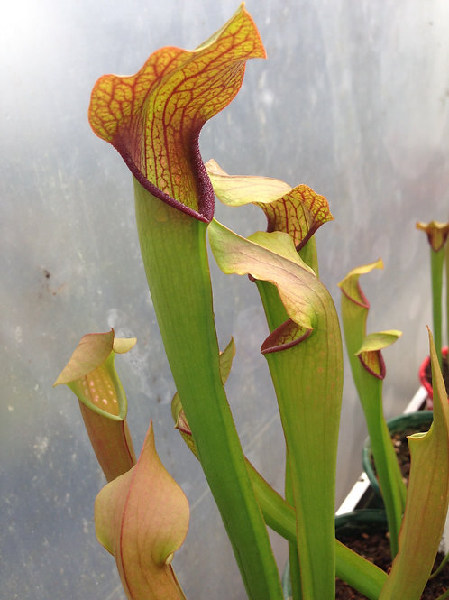 Sarracenia minor x oreophila $16