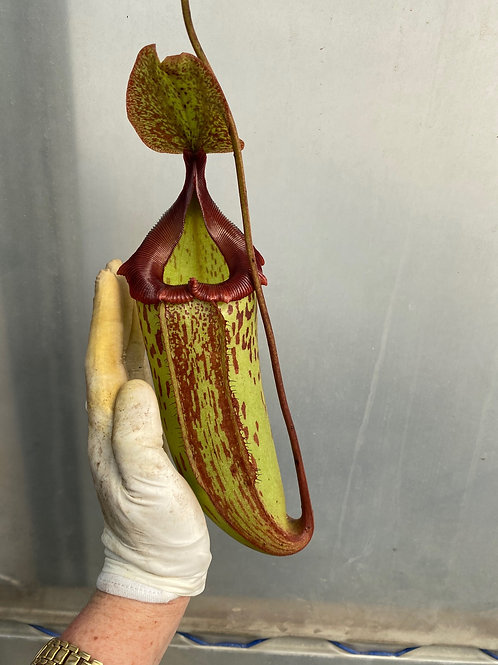 Nepenthes 'Gothica' $100
