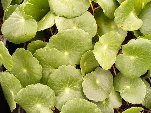 Shield Pennywort - Hydrocotyle bonariensis