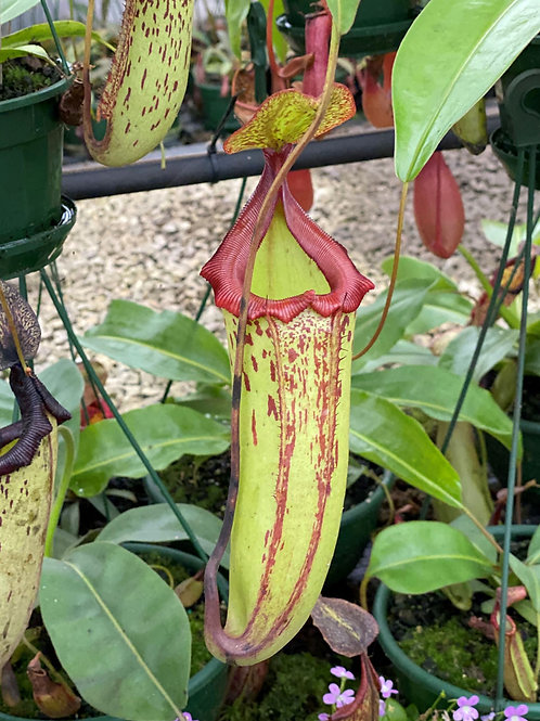 Nepenthes 'Gothica' $50
