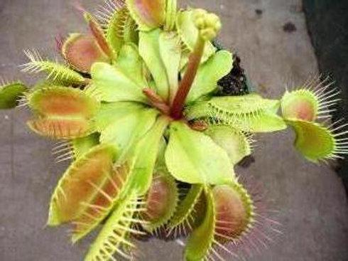 Dionaea muscipula 'Paradisia' x 10 plants $45