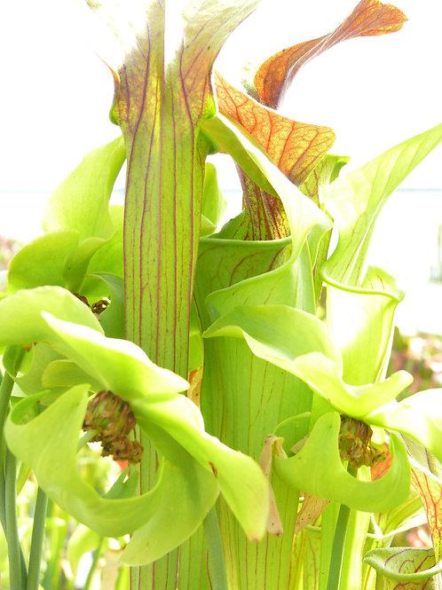 Sarracenia oreophila x alata f. red throat $16