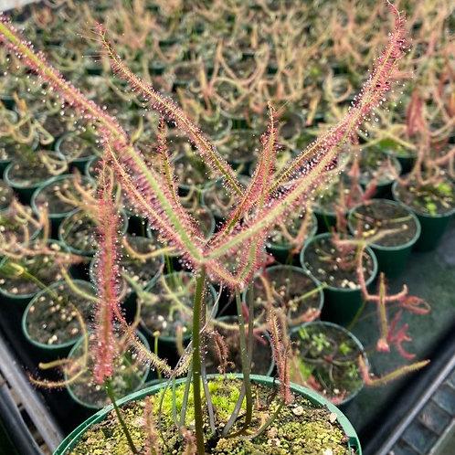 Drosera binata t. form 'Dark Web' $12