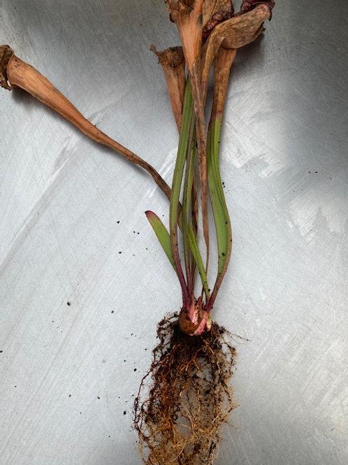 Sarracenia leucophylla x x courtii f. northern pink