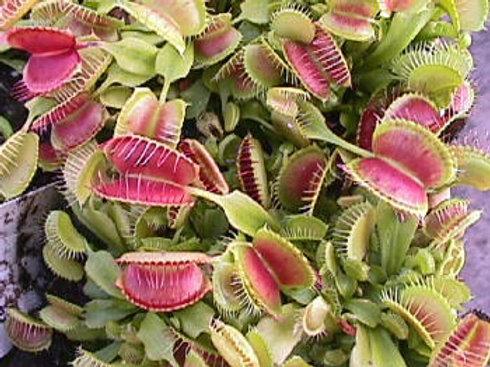 Dionaea muscipula 'Crested Petioles' $8