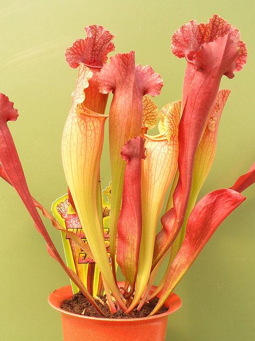 Sarracenia leucophylla x x courtii f. southern pubescens $20