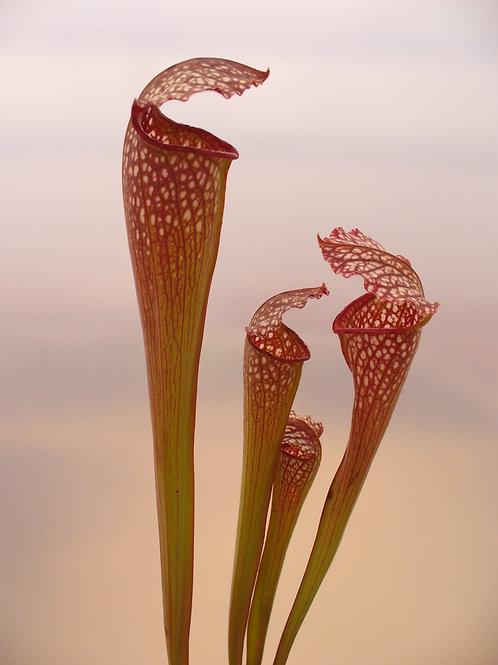 Sarracenia x excellens f. pubescens $20