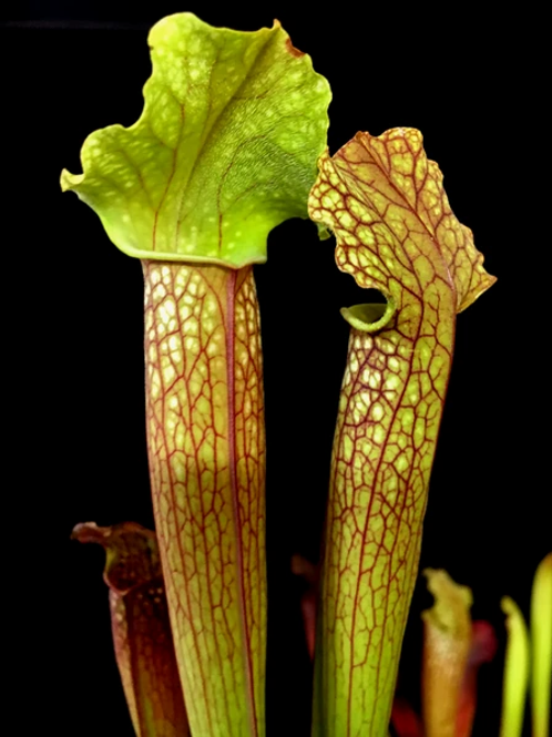 Sarracenia 'Willisii' x x areolata $16