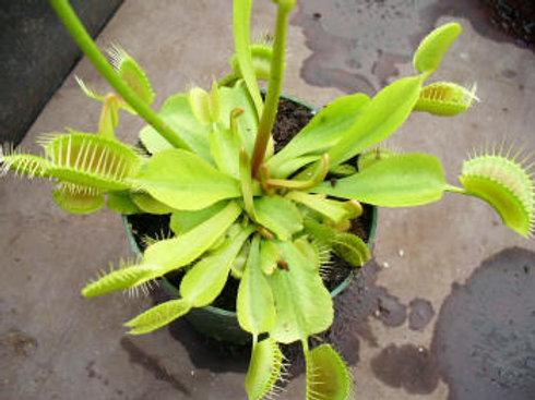 Dionaea muscipula 'Vigorous' x 10 plants $35