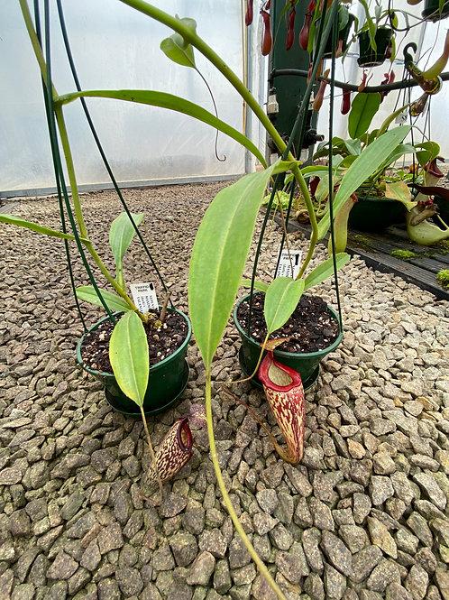 Nepenthes maxima form dark x talangensis $45