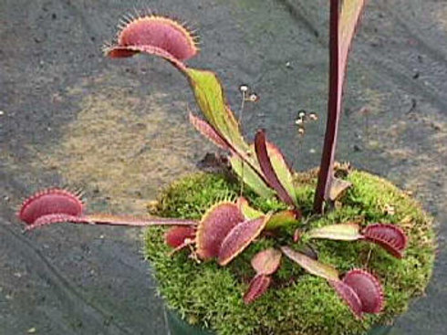Dionaea muscipula 'Royal Red' $12