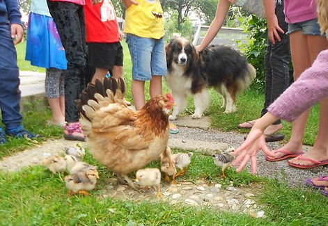Feeding hen and chicks on camping grounds