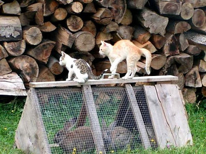 Cats on the rabbit enclosure