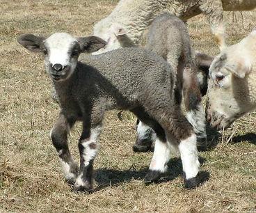 Lamb on the campite pasture