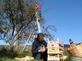 Picking apples at camping slovakia
