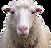 sheep on farm and camping sedliacky dvor