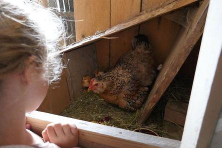 Chicken with chicks at sedliacky dvor