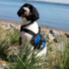 Image of Brax near the water front - Miracle Assistace Dog