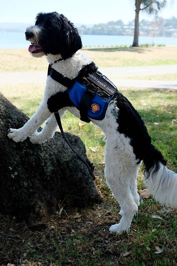 Image of Miracle Assistance Dog, Brax, with paws up on a tree