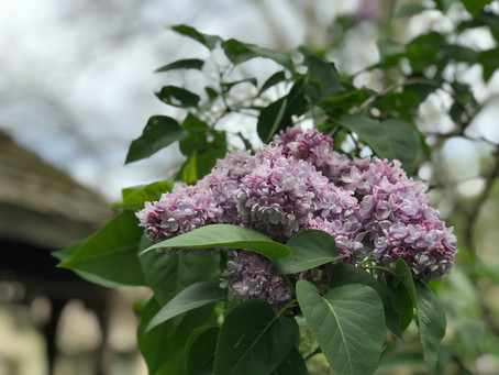 #2 Laura's Lilac Bower