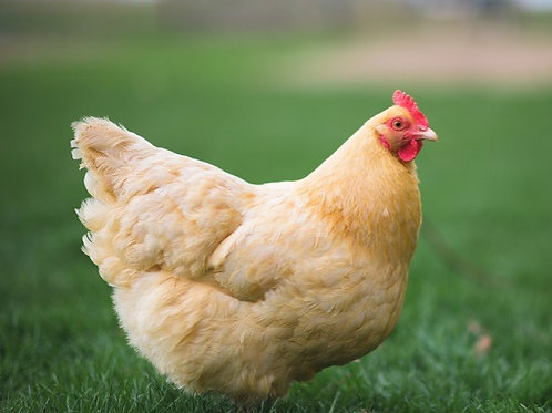 Buff Orpington - $3.99 EACH ($1 DEPOSIT REQUIRED*)