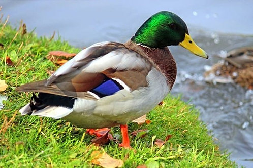 Mallard Duck - $6.99 EACH ($2 DEPOSIT REQUIRED*)