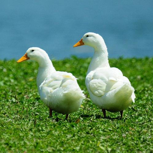 White Pekin Duck $6.99 EACH ($2 DEPOSIT REQUIRED*)