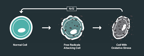 nrf2-effects-on-cells-768x298 (1).png