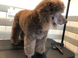 Bob the Poodle