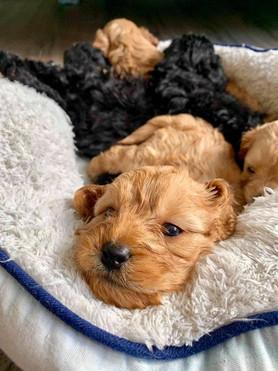 Ruby Puppies 1.jpg