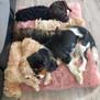 Puppies Shiloh.jpg