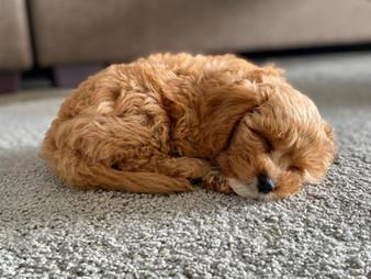 Puppy asleep.jpg