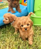 Ruby Puppies.jpg