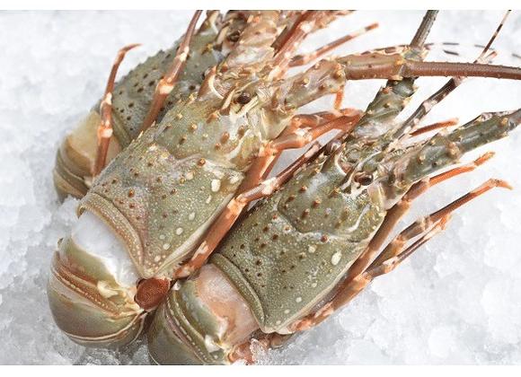 印尼青龙虾 GREEN LOBSTER 300/400