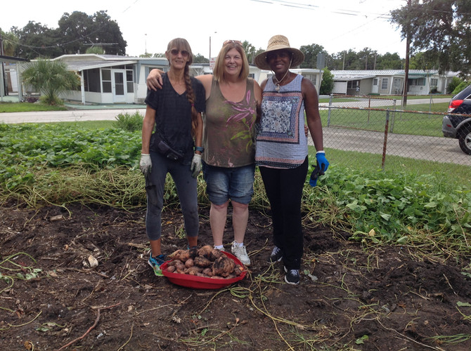 Local Growers Getting Ready for the 2018 New Port Richey Sweet Potato Round Up