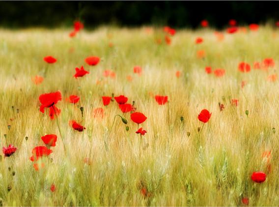 24 Poppy Field