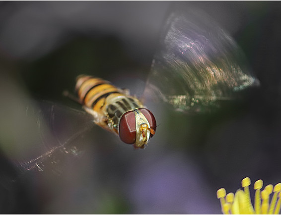 06 Hoverfly.jpg