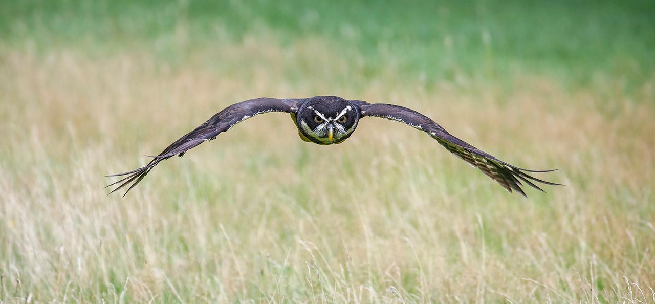 02  Boobook owl