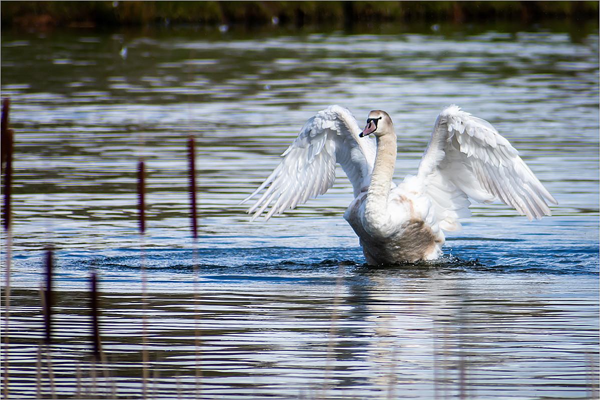 14 Swan Exercising.jpg