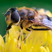 1st Print: Hoverfly