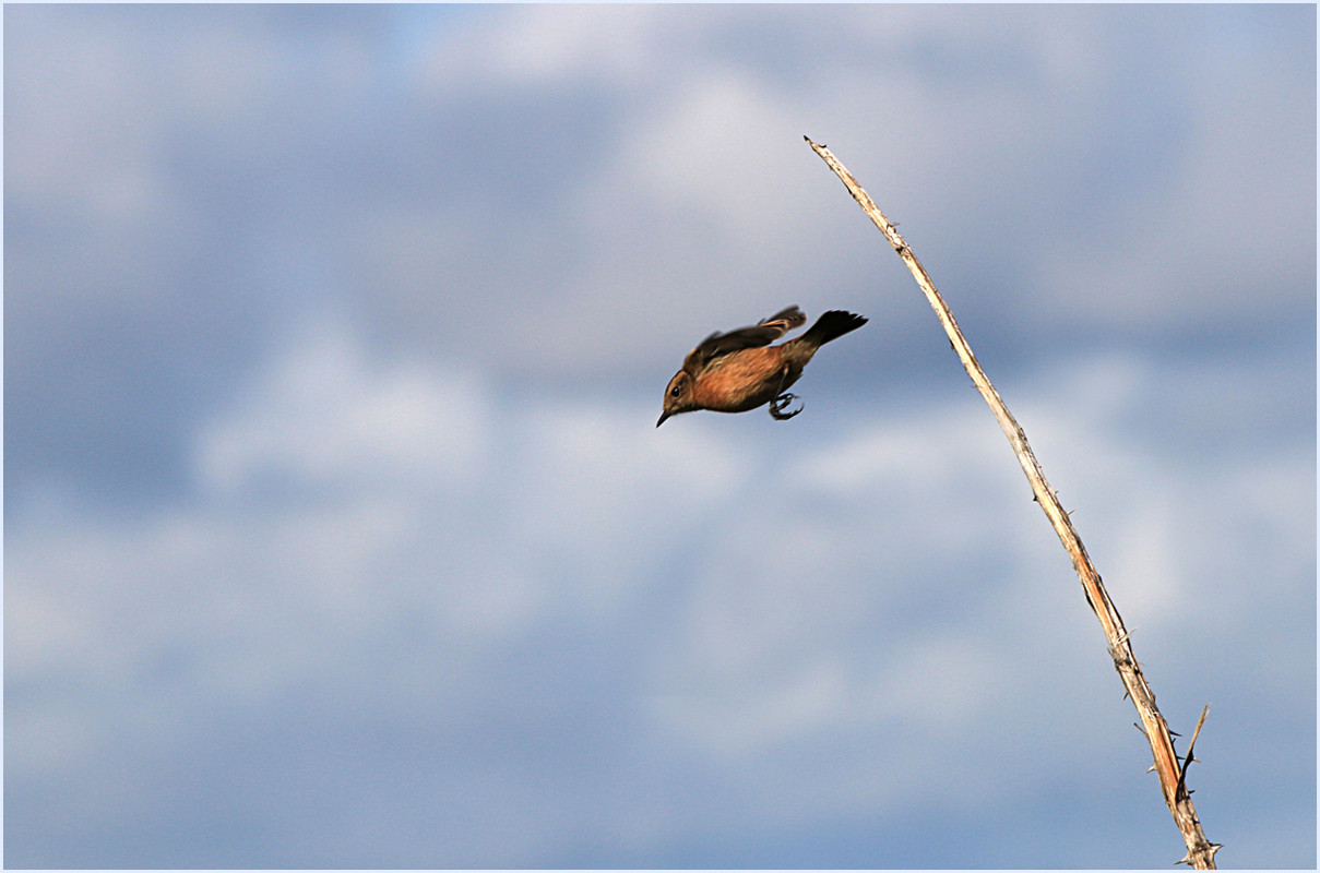 29 Stonechat Diving