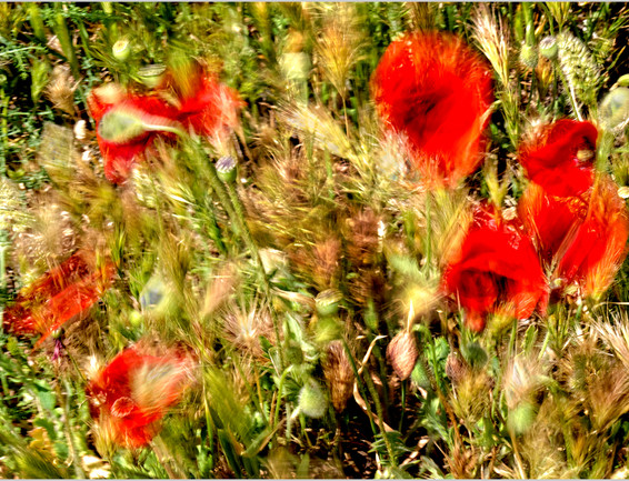 02 Poppies in the Wind.jpg