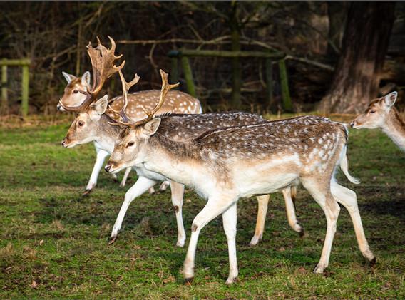 14 Fallow Deer.jpg