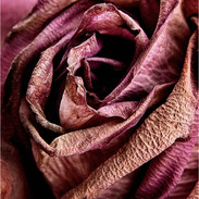 3rd Print: Faded Rose