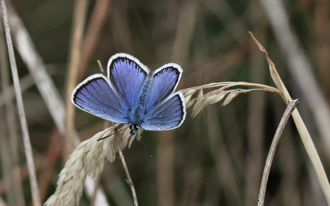 01 Silver-studded blue